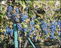 Grapes in an Upper Hungary Vineyard